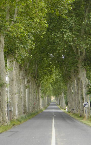 Plain trees close to the road in France
